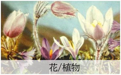 アンティークポストカード花